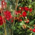 Diada de Sant Jordi a Sant Cugat Sesgarrigues
