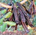 Camps i oliveres i garrofers