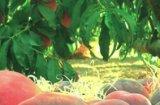 Mercat de la Fruita Dolça a Piera
