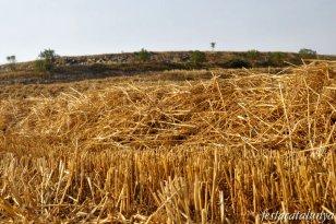 Sant Guim de Freixenet - Camp de cereals