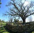 Roure del Giol o de Santa Coloma Sasserra