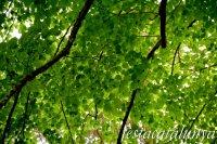 Espinelves - Arboretum de Masjoan - Til·ler