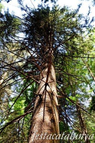 Espinelves - Arboretum de Masjoan - Avet Comú de Masjoan