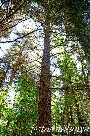 Espinelves - Arboretum de Masjoan - Avet de Douglas