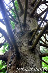 Espinelves - Arboretum de Masjoan - Avet Pinsap