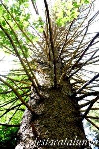 Espinelves - Arboretum de Masjoan - Avet Roig