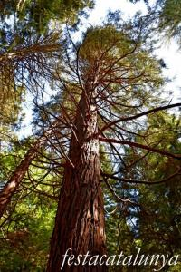 Espinelves - Arboretum de Masjoan - Cedre Blanc de Califòrnia