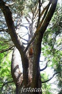 Espinelves - Arboretum de Masjoan - Cedre de l'Atlas del Masjoan