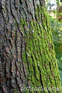 Espinelves - Arboretum de Masjoan - Cedre de l'Himalaia