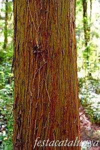 Espinelves - Arboretum de Masjoan - Criptomèria