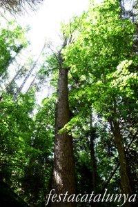 Espinelves - Arboretum de Masjoan - Pi de L'Himalaia