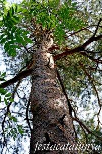 Espinelves - Arboretum de Masjoan - Pi Roig