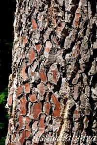 Espinelves - Arboretum de Masjoan - Pinastre