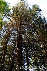Espinelves - Arboretum de Masjoan - Sequoia Gegant de Masjoan
