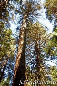 Espinelves - Arboretum de Masjoan - Sequoia Roja