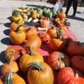 Pesada de carbasses gegants virtual a Sant Feliu de Codines