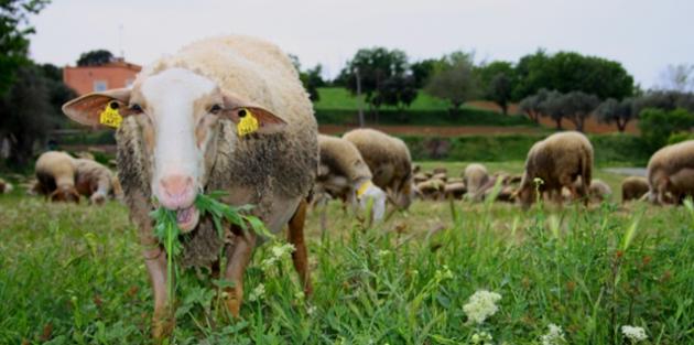 Coneix quina funció té l'ovella a pagès a l'Empordanet (Foto: visitempordanet.com)