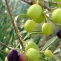 Visites Guiades a l'Empordanet - Descobreix el món de l'oli d'oliva