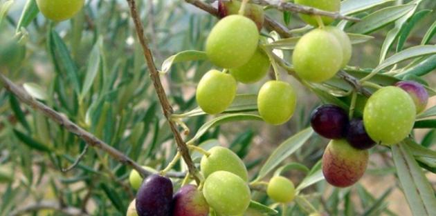 Visites Guiades a l'Empordanet - Descobreix el món de l'oli d'oliva (Foto: visitempordanet.com)