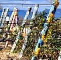 Vinya de l'Om o vinya pintada a la Granada