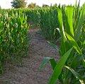 Laberint de blat de moro a Castellserà